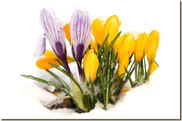 Frühlingserwachen - Krokusse im Schnee
