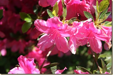 Azaleas in bloom- by B.Lamberson
